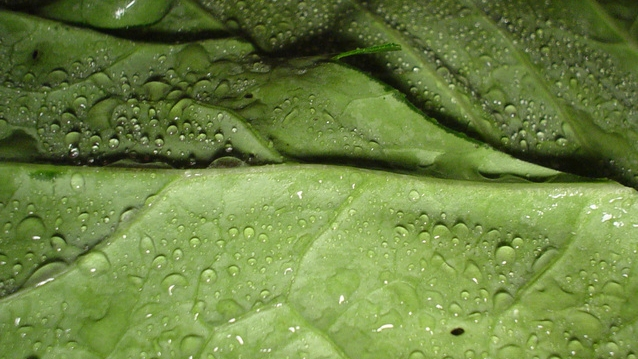 SPICY COLLARD GREENS   INGREDIENTS 2 pounds collard greens, rinsed 5 slices think bacon, diced 1 large onion, diced ¾ cup chicken broth 3 tablespoons cider vinegar 1 tablespoon dark brown sugar 1 teaspoon red pepper flakes ¼ to ½ teaspoon tabasco sauce or other hot sauce salt and pepper   INSTRUCTIONS Use a knife to cut on either side of the large rib running up each collard green leaf. Remove it and discard it. You don't need to go all the way up the leaf, just remove the thickest part. For smaller leaves, just remove the stem. Stack about 4 to 5 leaves, roll them up, and cut into ½-inch strips. Repeat with remaining leaves. Cook bacon in a large pot over medium heat until crisp. Remove with a slotted spoon to a paper towel lined plate. Add onion to bacon fat and cook over medium heat, stirring occasionally, until softened. Add broth, vinegar, sugar, red pepper flakes, and tabasco sauce to pot. Stir to combine. Add collard greens and use tongs to turn and mix them until they reduce in size some. Cover, turn heat to low and cook for 1 hour, stirring occasionally. Before serving, sprinkle bacon on top and season to taste with salt and pepper. view recipe source