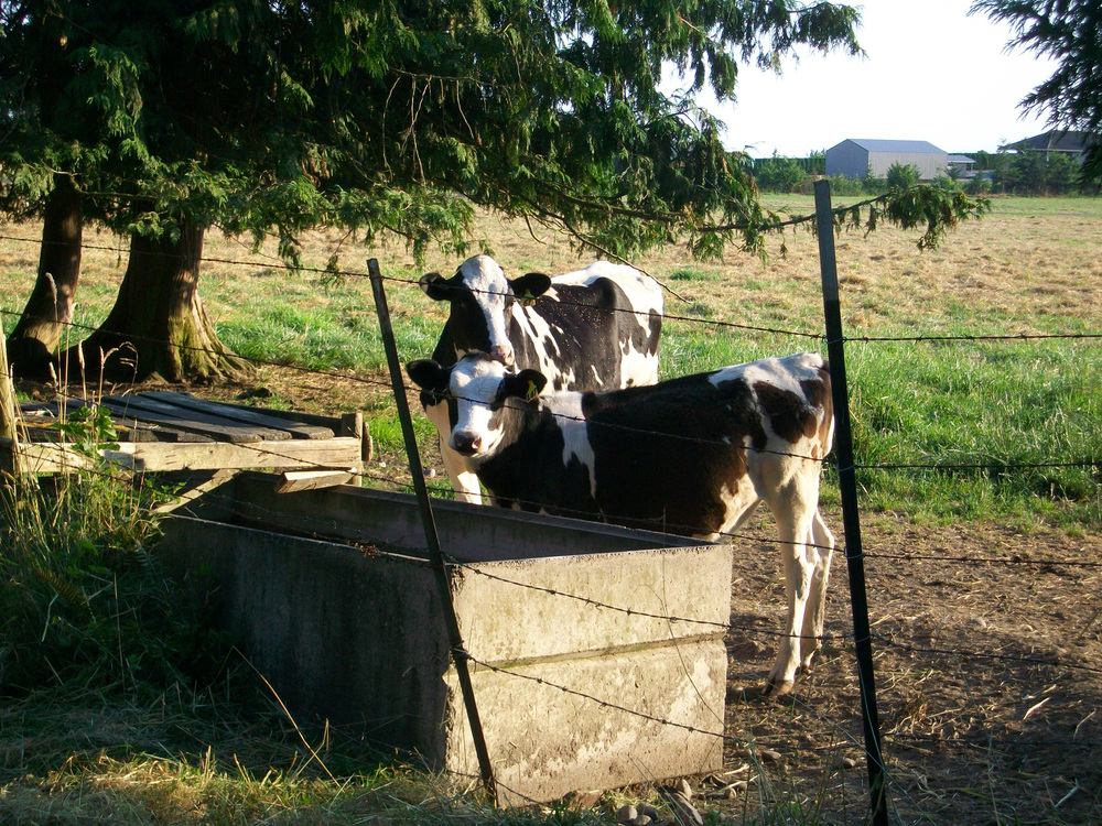 Dairy calves behind fence