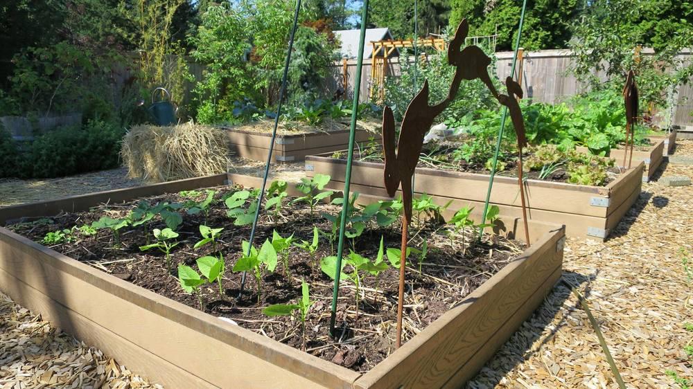 garden photo- beans.jpg