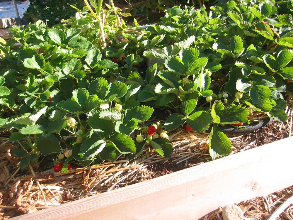 Galina strawberries.JPG