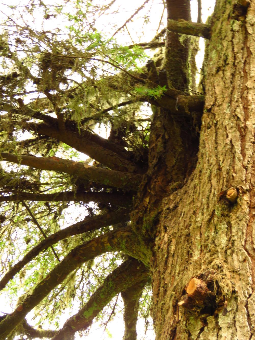 Focus On Hemlock Dwarf Mistletoe Snohomish Conservation District