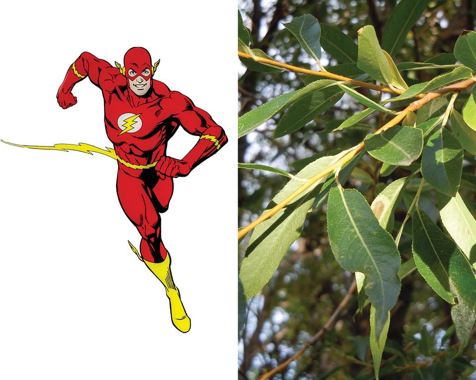 Flash - Pacific Willow (Salix lasiandra)