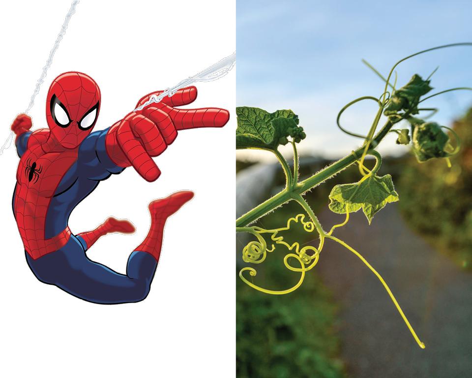 Spider-Man - Manroot (Marah oreganus)