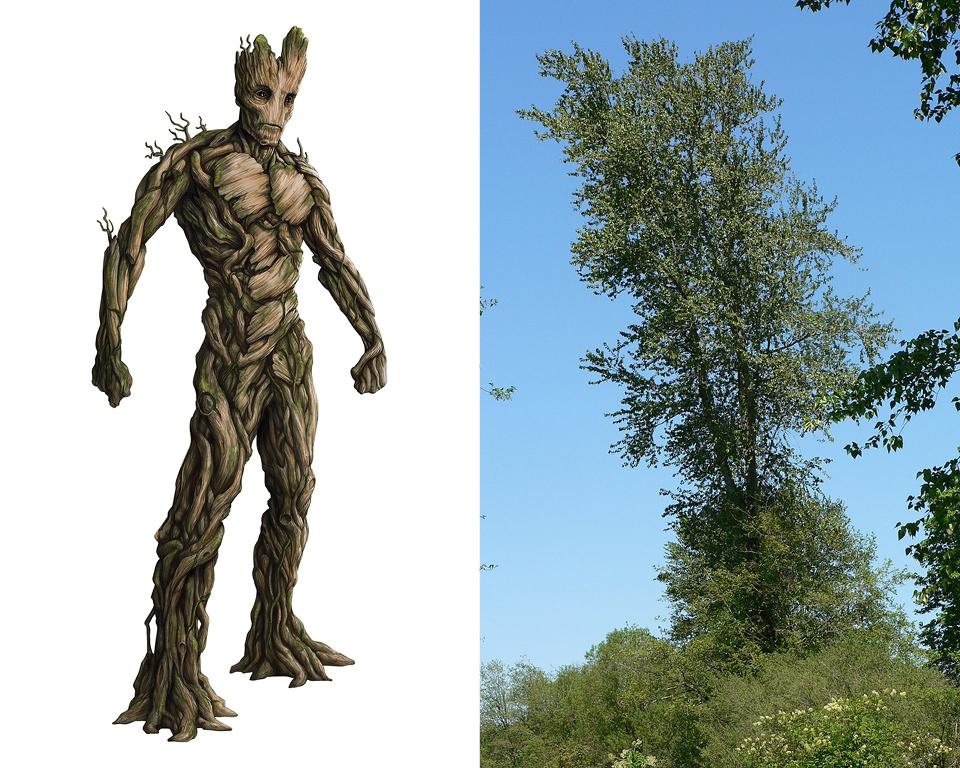 Groot - Black Cottonwood (Populus trichocarpa)