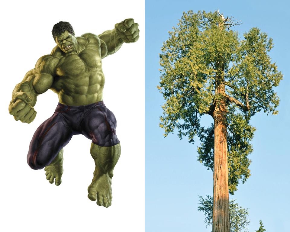 Hulk - Western Redcedar (Thuja plicata)