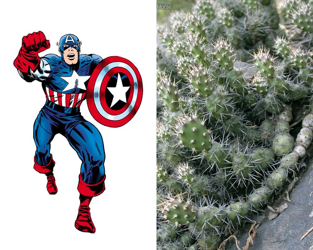 Captain America - Brittle Prickly-Pear Cactus (Opuntia fragilis)