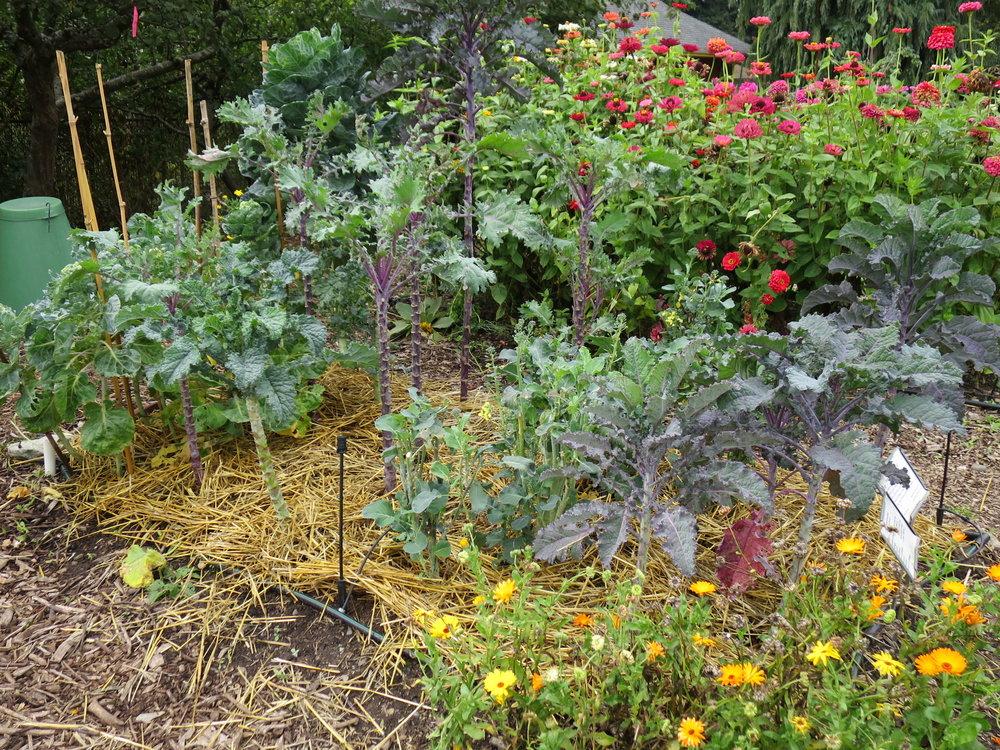 Garden - late season garden with straw.JPG