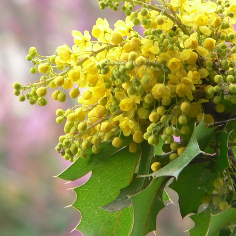 Photo of oregon grape