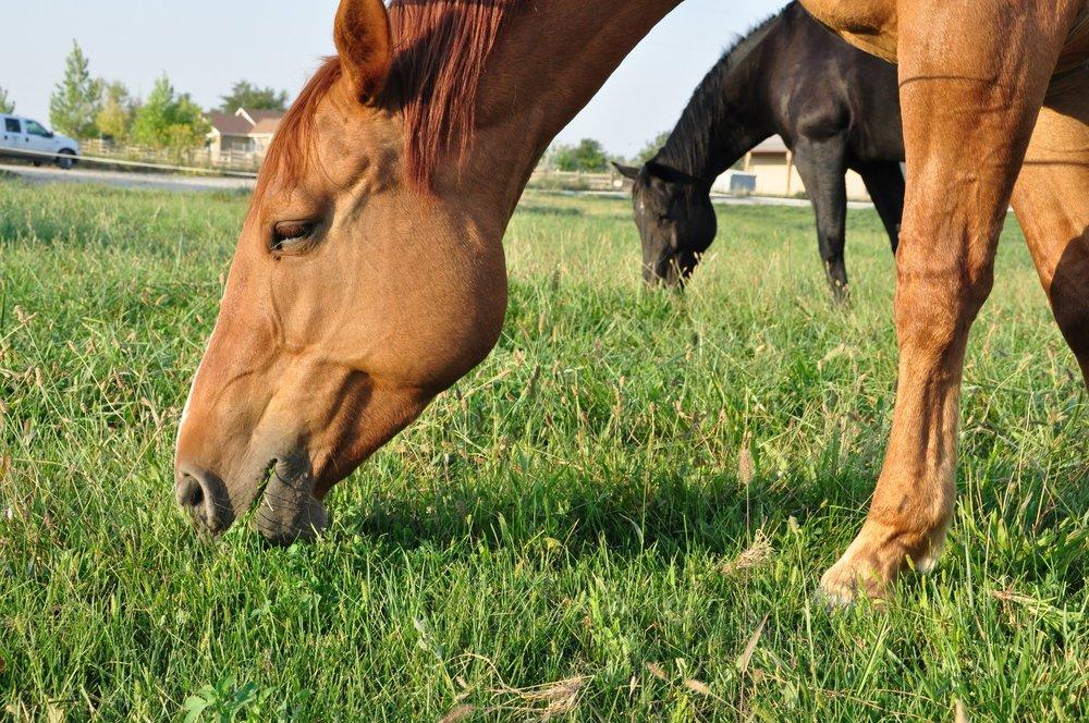 horses grazing.jpg