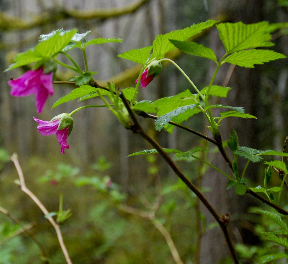Salmonberry - Photo Credit: Cindy Martin