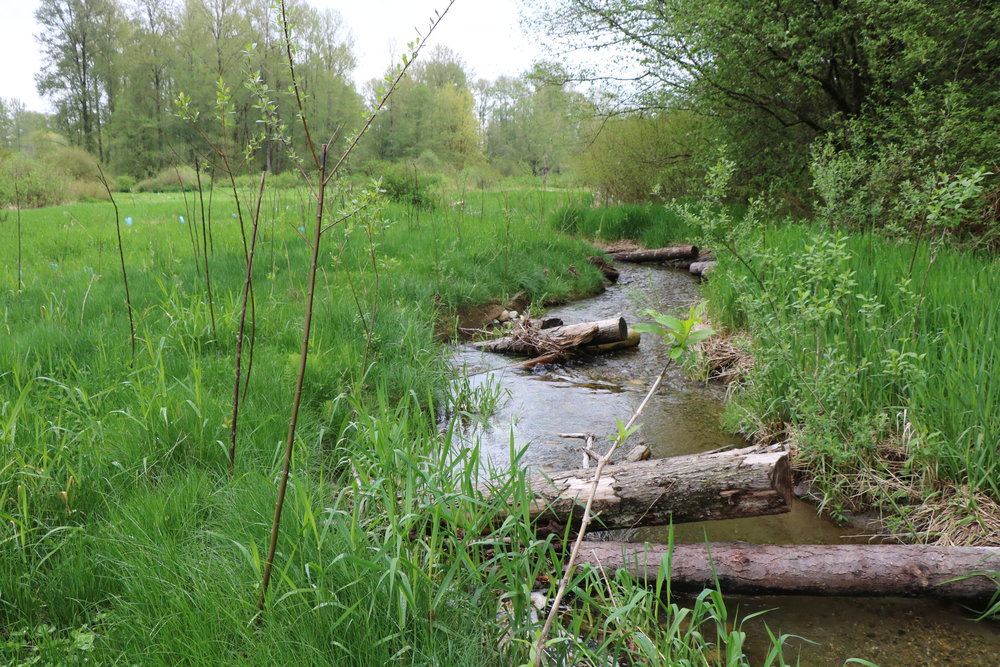 April 2018 - the willows are quickly growing, these will provide shade cover for the stream.