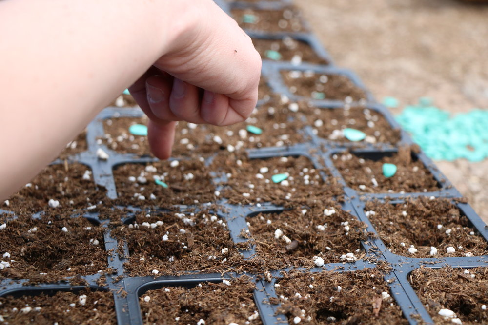 A volunteer plants squash in a seedling tray.