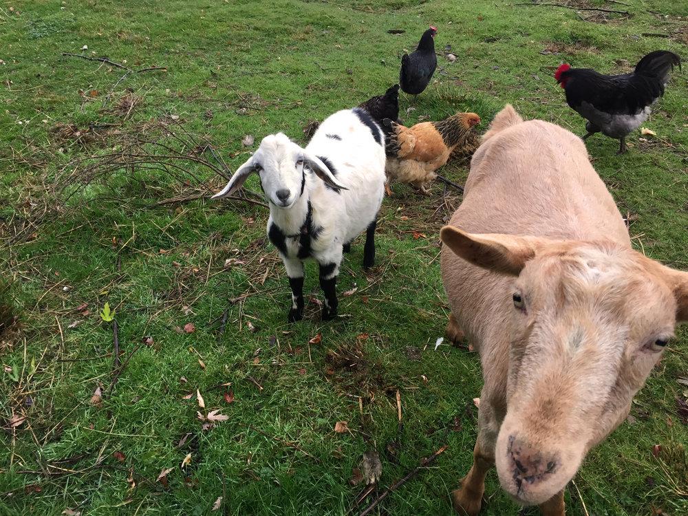 Goats-November-2017-kq.jpg