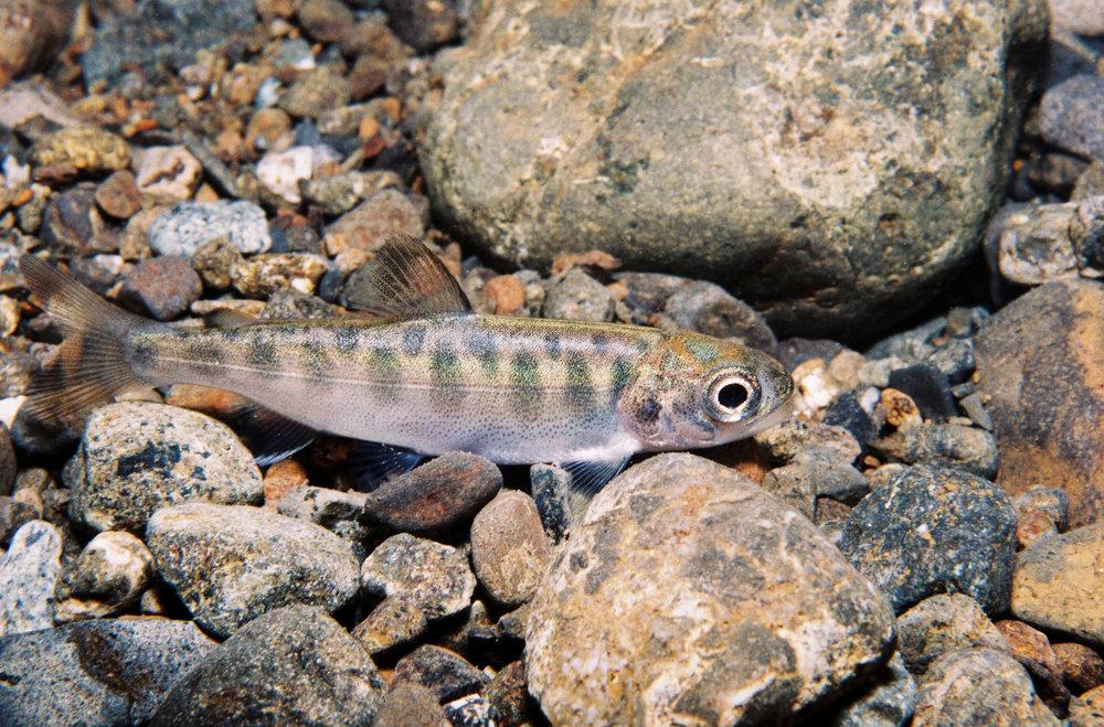 Juvenile salmonid