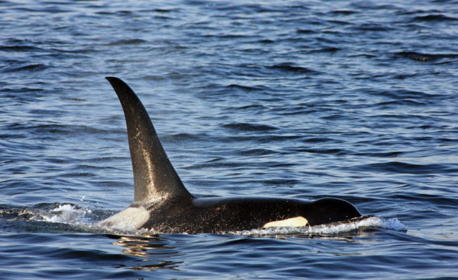 orca whale - Photo Credit: Creative Commons Kat Kellner
