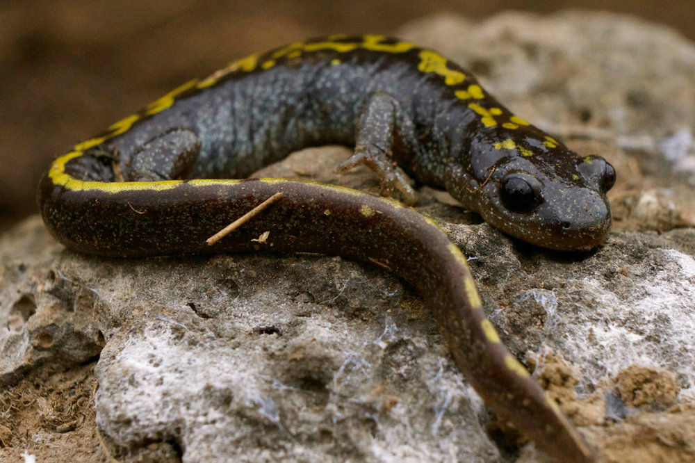 Long-toed salamander resting on a rock.