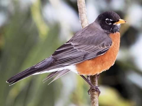 American Robin Sitting on branch with blured forest background.