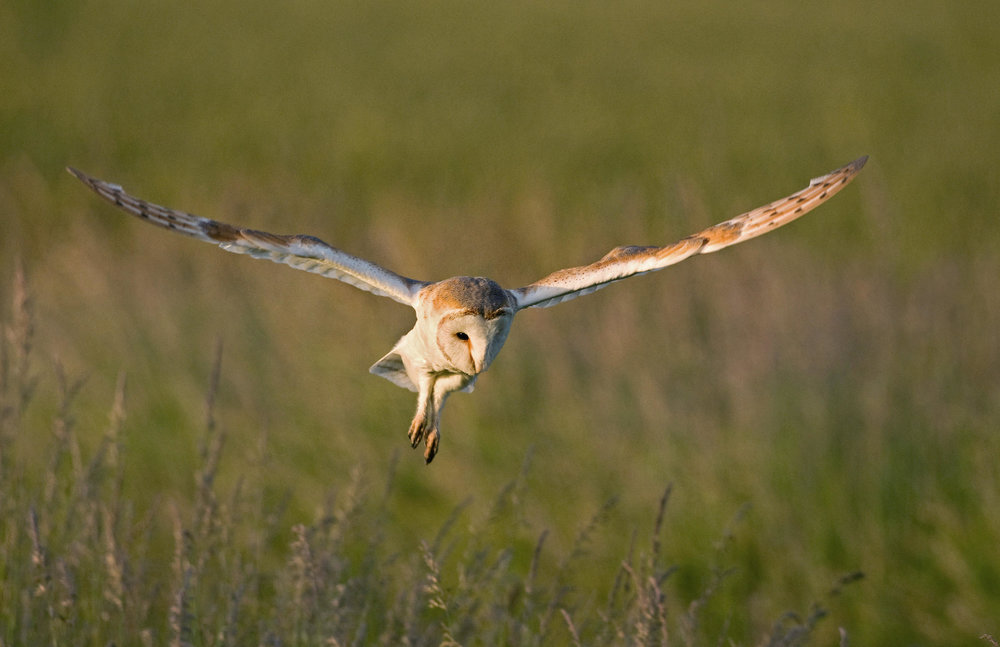 Barn Owl, with wings outstretched and talons out, flying low through a field.