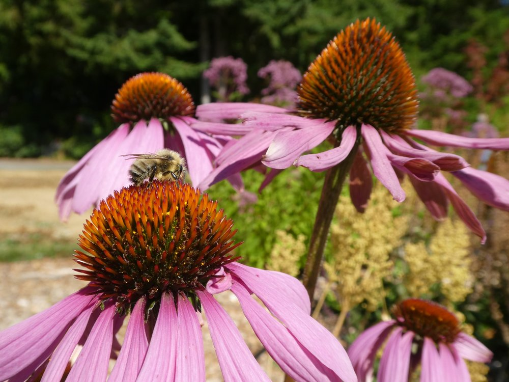 In foreground a bee collecting pollen on Purple Coneflower with many other plants and other purple coneflowers visible in the background.