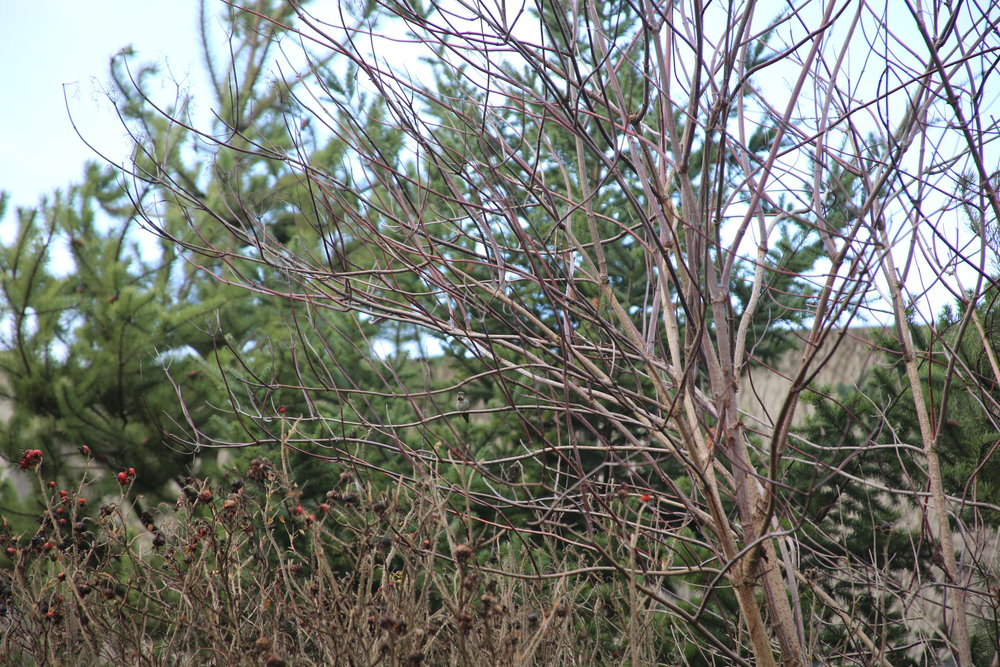 A Hummingbird sits in a Vine Maple.