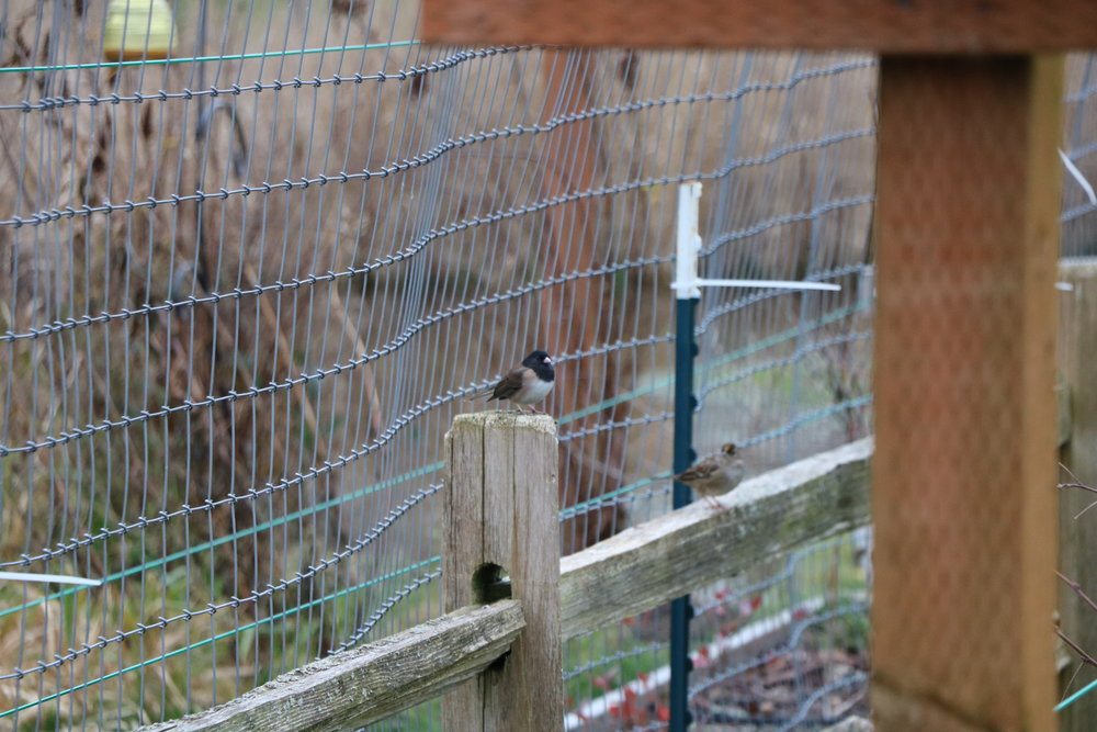 Junco waiting for turn at feeder