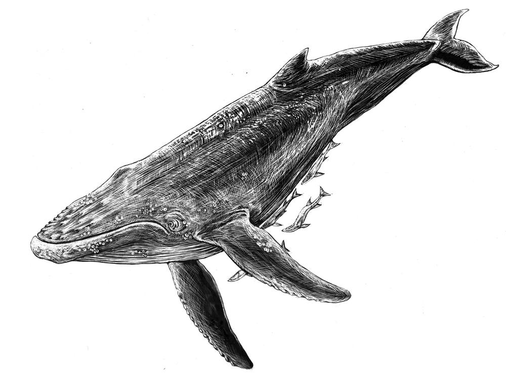 Humpback Whale & Ramora Fish