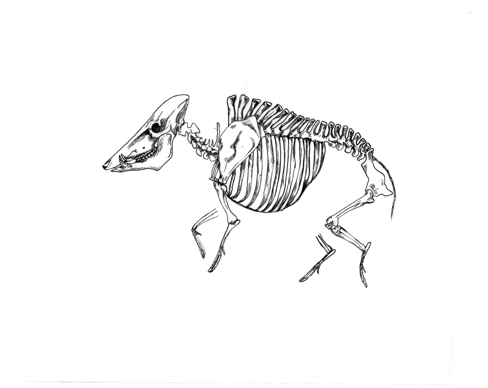 Boar Skeleton