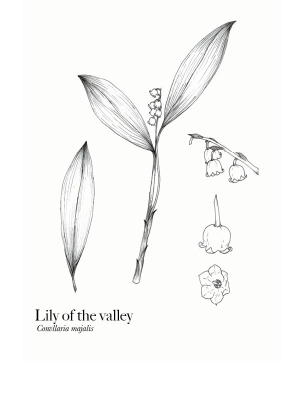 Lily of the valley Botanical Plate