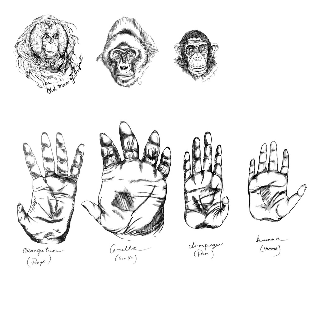 Great Ape Hand Comparisons