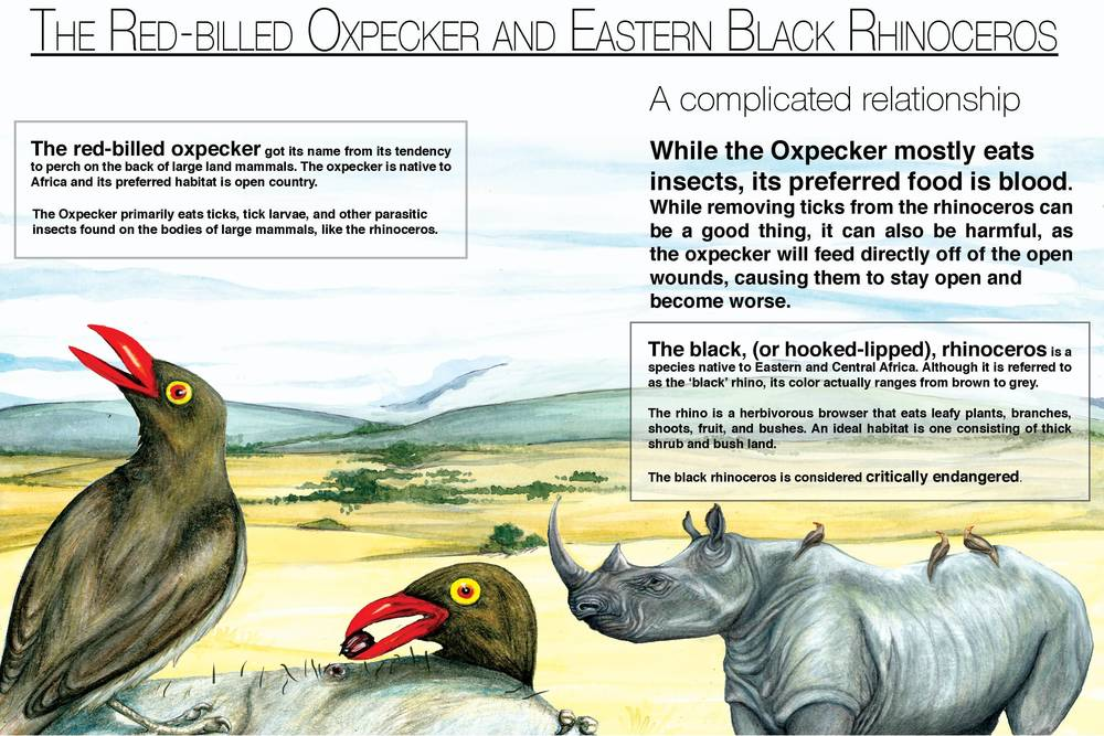 The Red-Billed Oxpecker and Black Rhinoceros