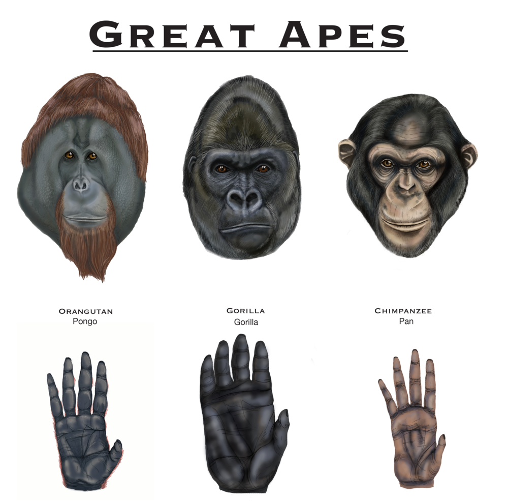 Identifying Great Apes