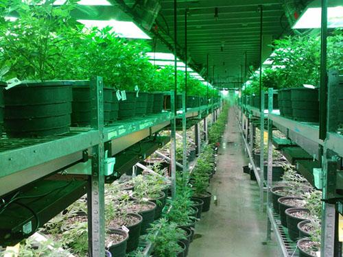 cannabis risks