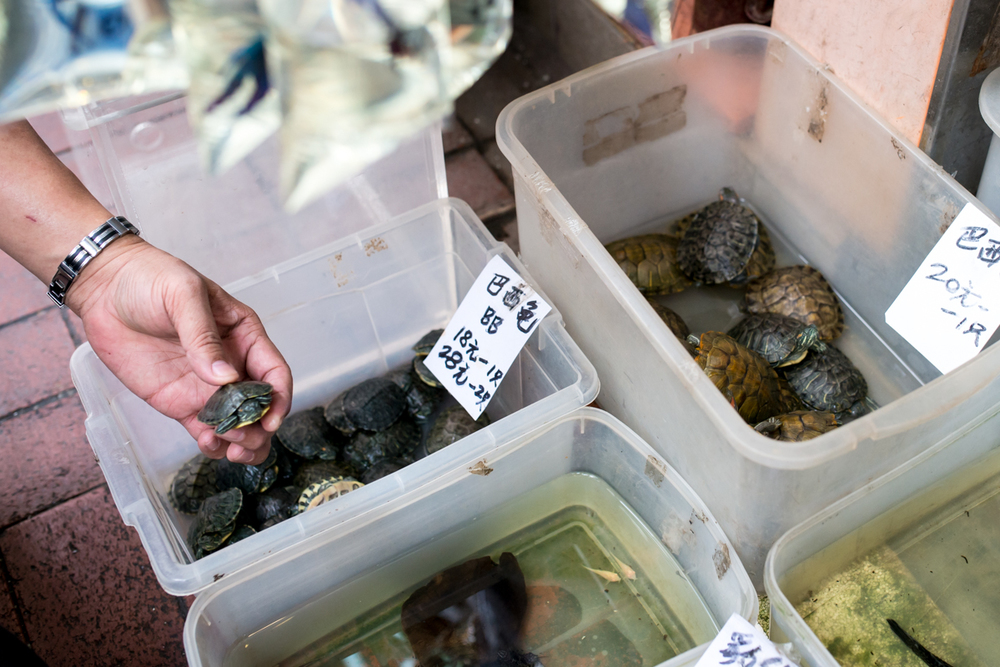 Turtles for sale at the Goldfish Market