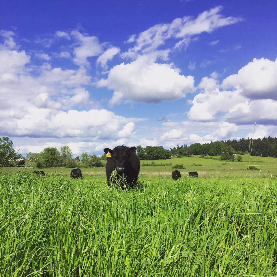 black angus cows enjoying the spring grass