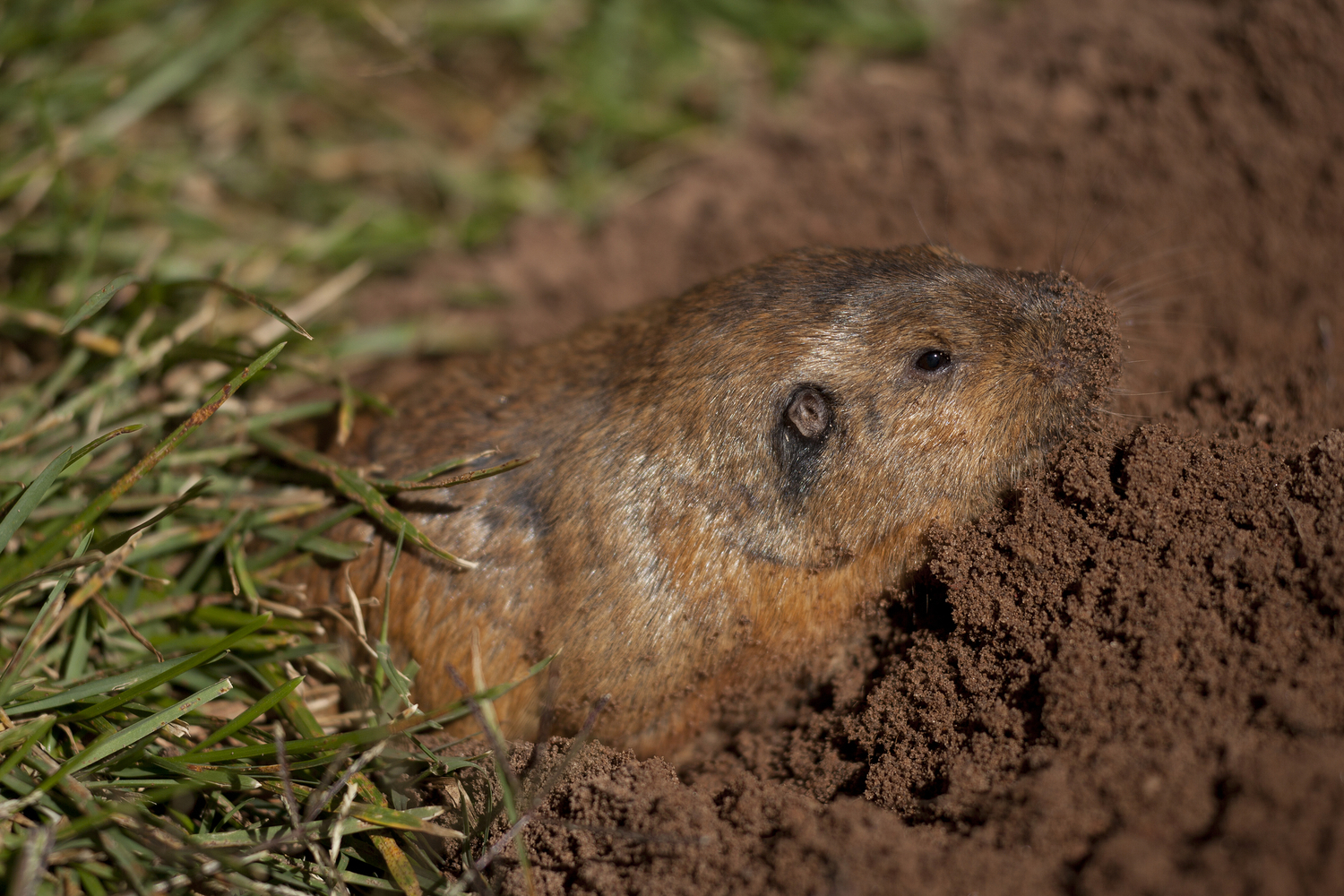 gopher control pest removal services in the bay area