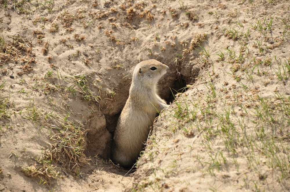 Ground Squirrel coming out of tunnel system