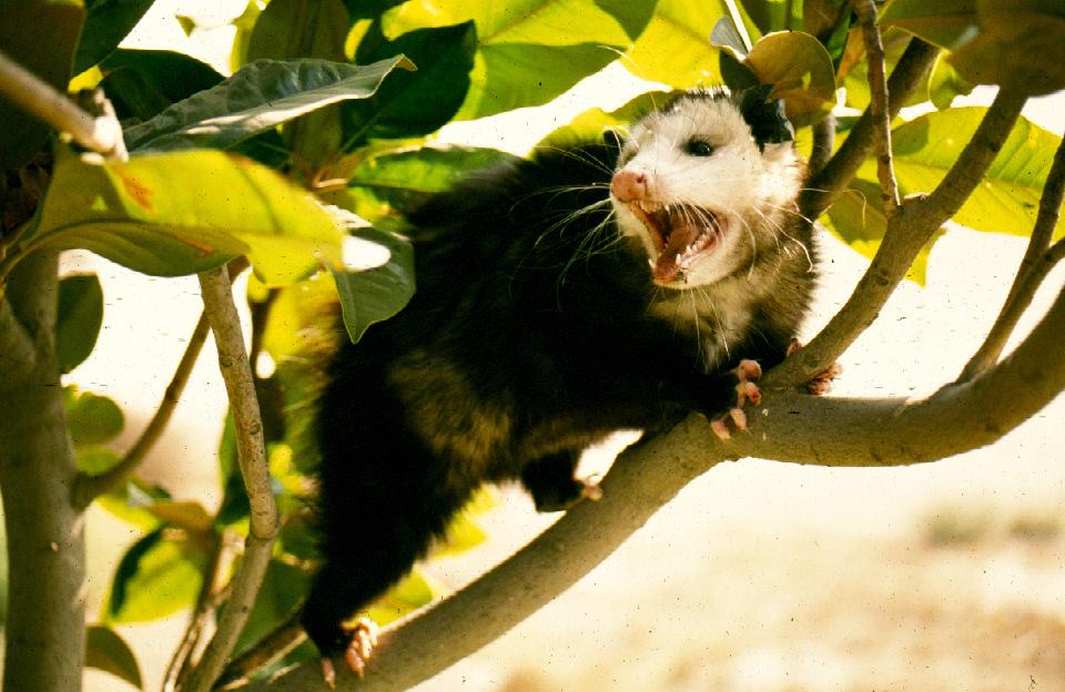 Op- in tree Teeth EX..jpg