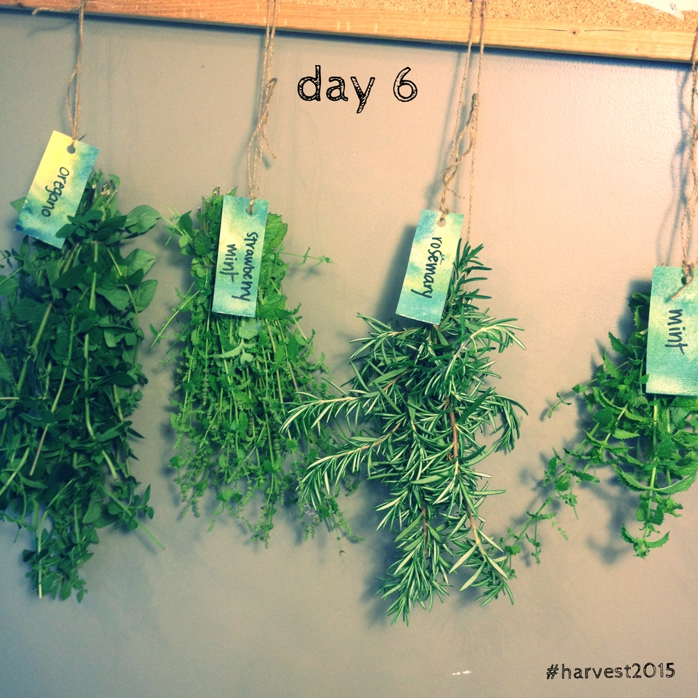 Herbs, hanging to dry. #harvest2015
