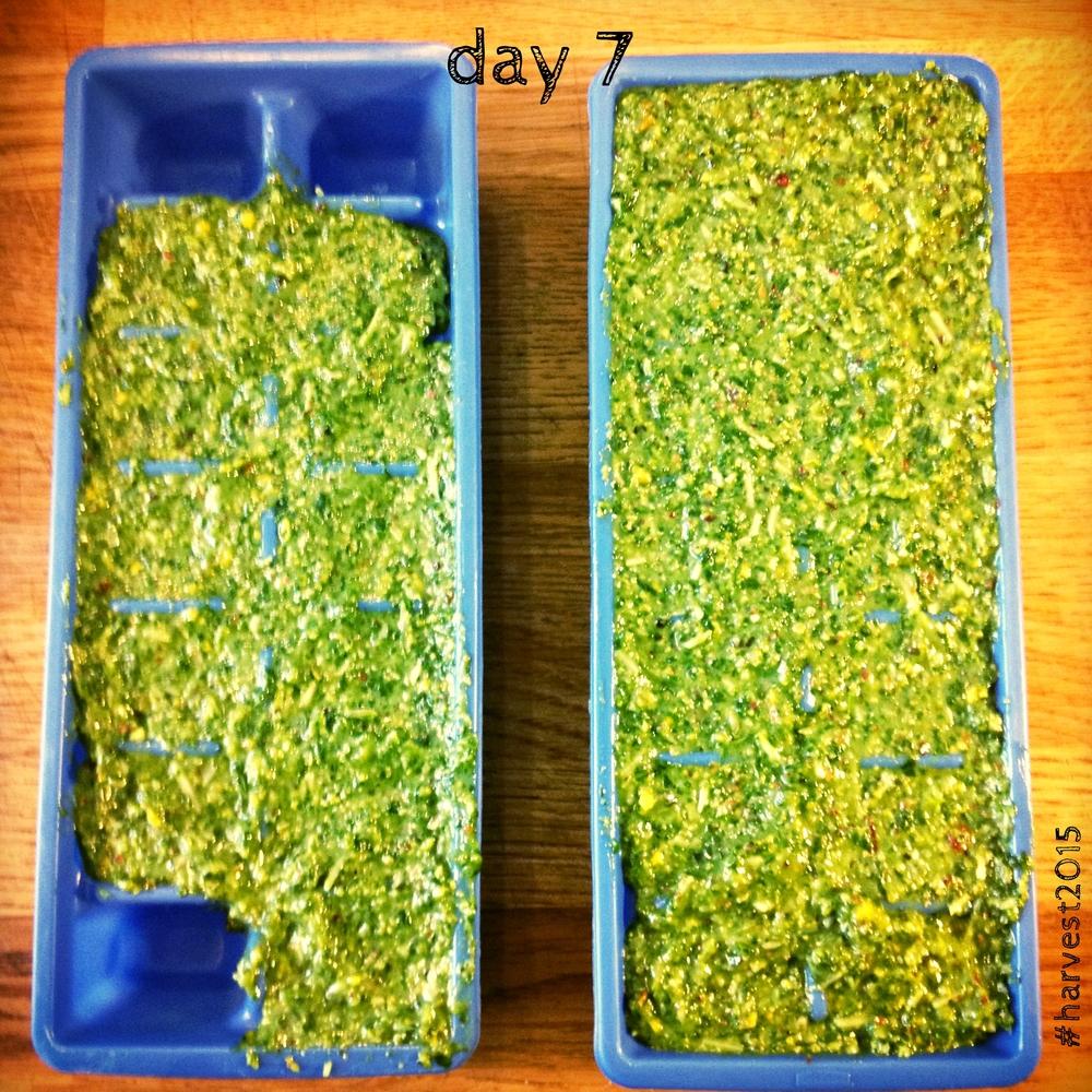Arugula basil pistachio pesto with chipotle & spirulina #harvest2015