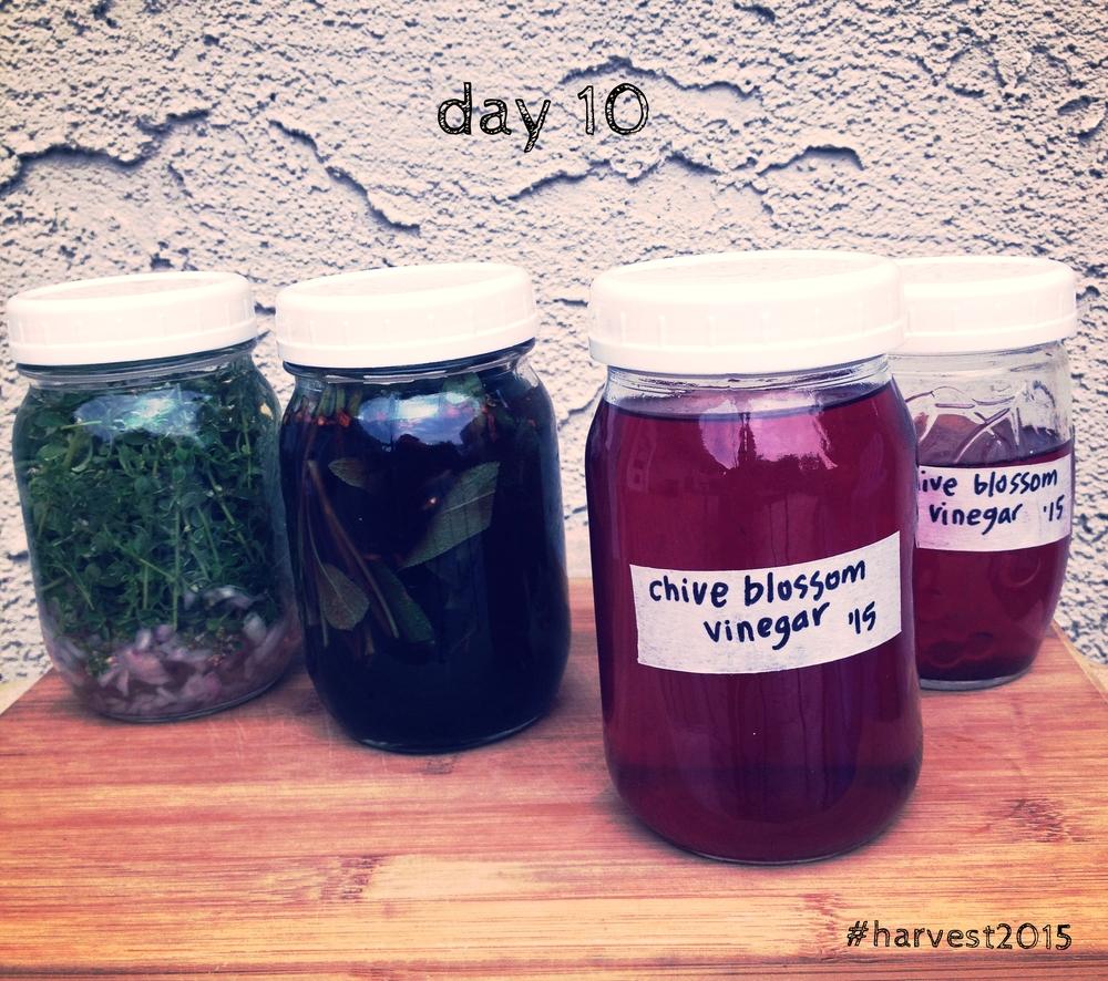 Lemon thyme & shallot white wine vinegar, Sage & peppercorn & chili red wine vinegar, chive blossom vinegar. Herb-infused vinegars, #harvest2015.