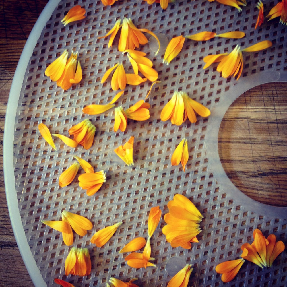 Calendula petals destined for the dehydrator. #harvest2015