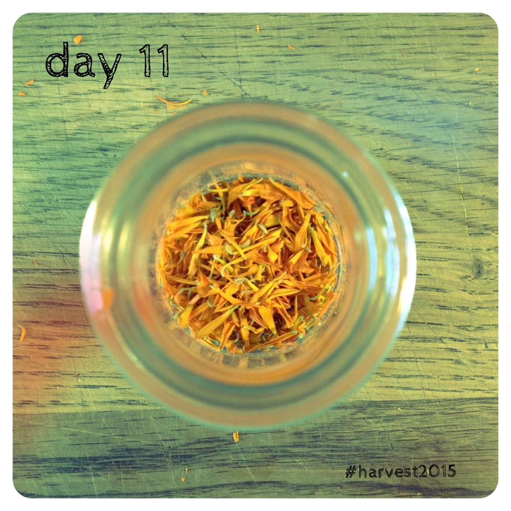 Calendula officinalis, dried for future use. #harvest2015