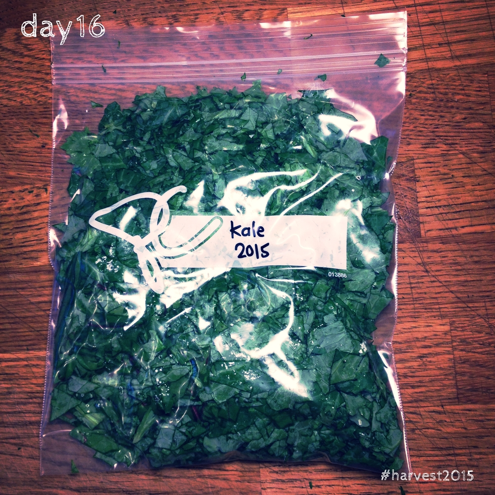 Finely chopped kale and one measly little chard leaf, destined for the freezer. #harvest2015