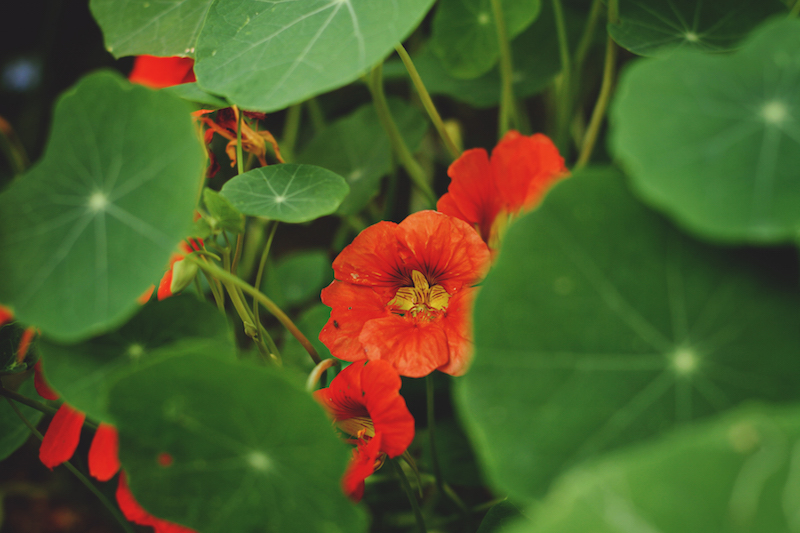 Nasturtiums leaves and flowers are edible. And peppery!