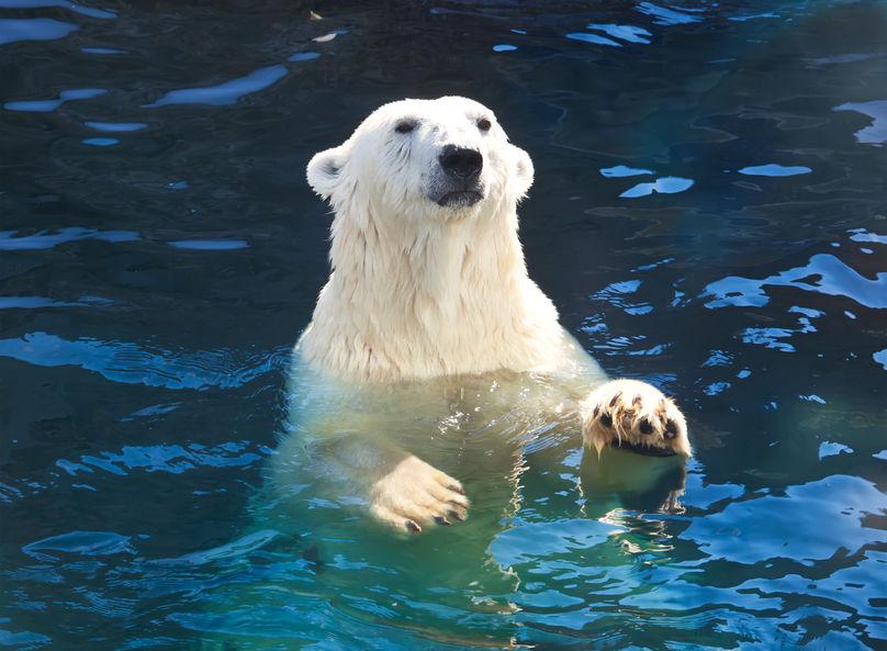 Alex Popo @123RF (Polar bear)