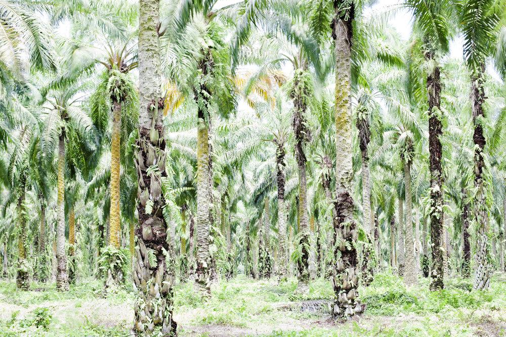 palm oil 30.jpg