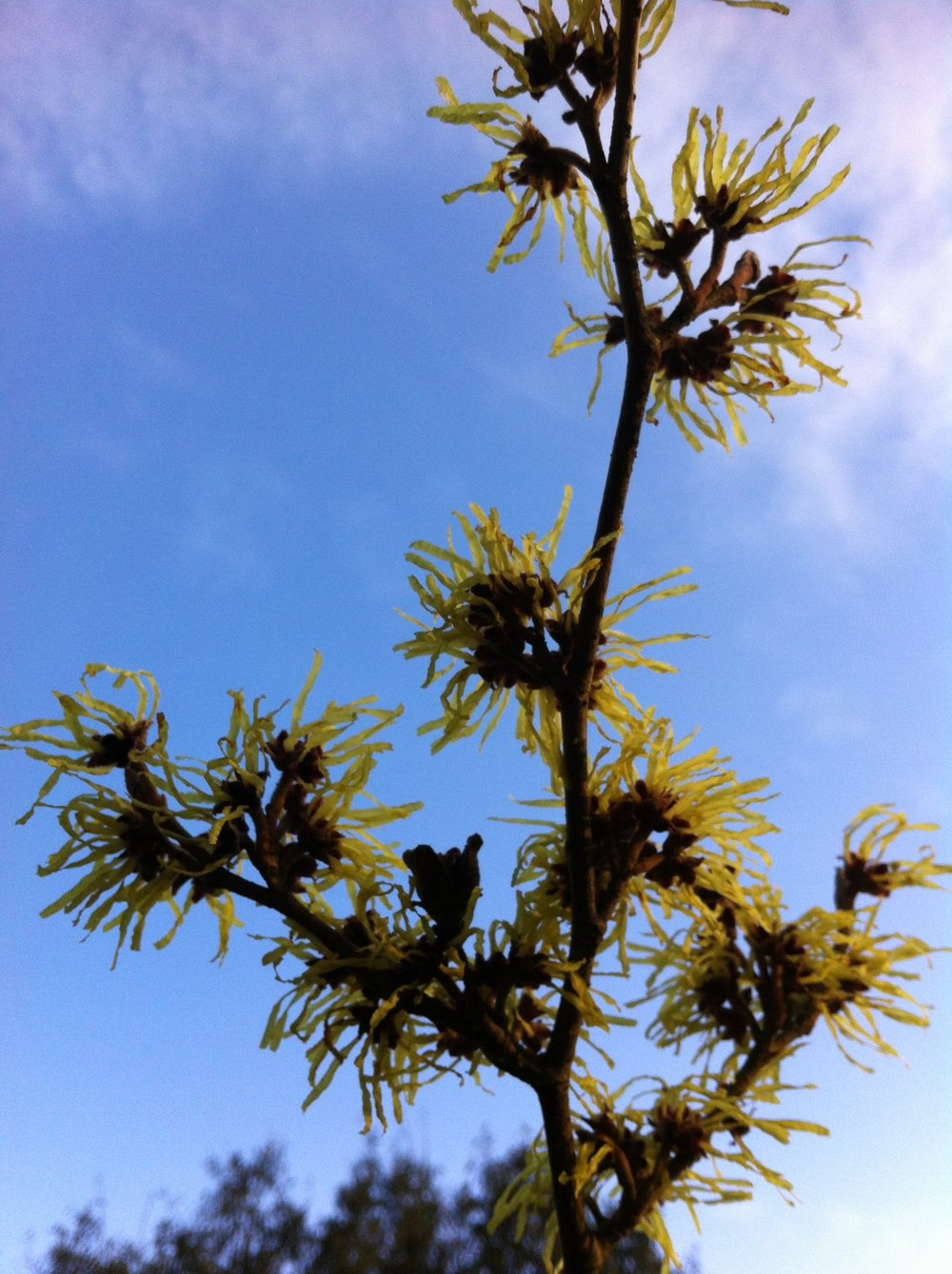 winter_flowering_hamamelis.jpg