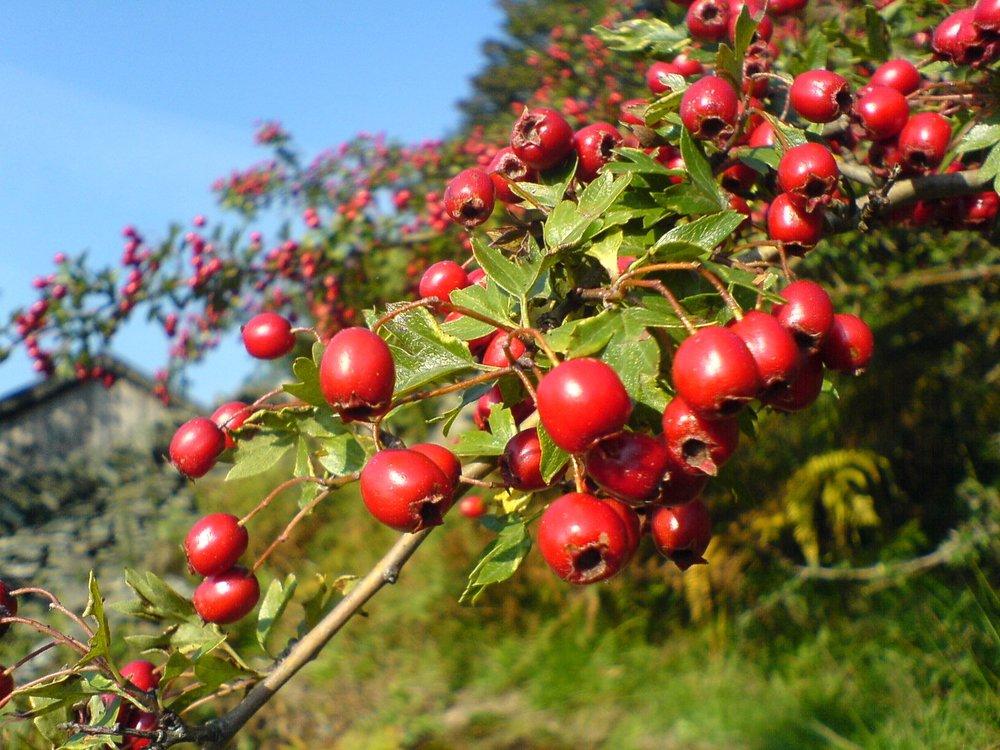 autumn_berries.jpg