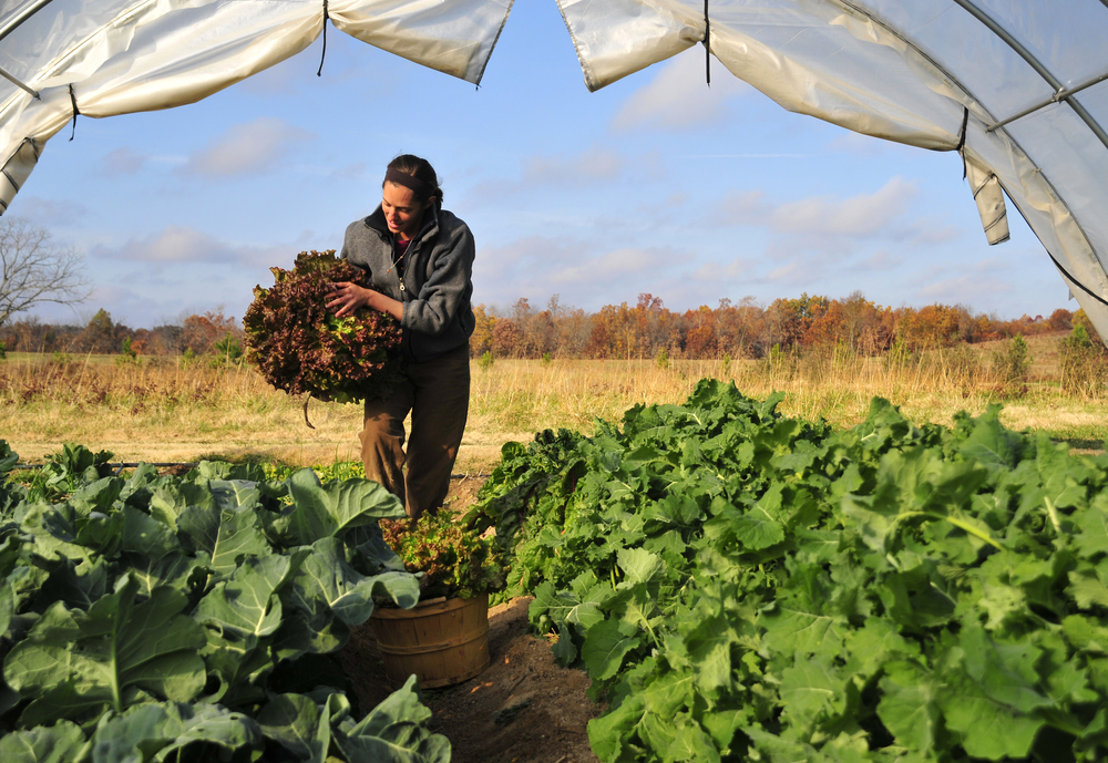 "Emily Oakley harvests lettuce in a hoop house at Three Springs Farm in Oaks Oklahoma. The hoop house was purchased with a grant from the USDA. ""I would love to see more kids wanting to grow up to be farmers"" said Oakley. Nick Oxford for The New York Times"