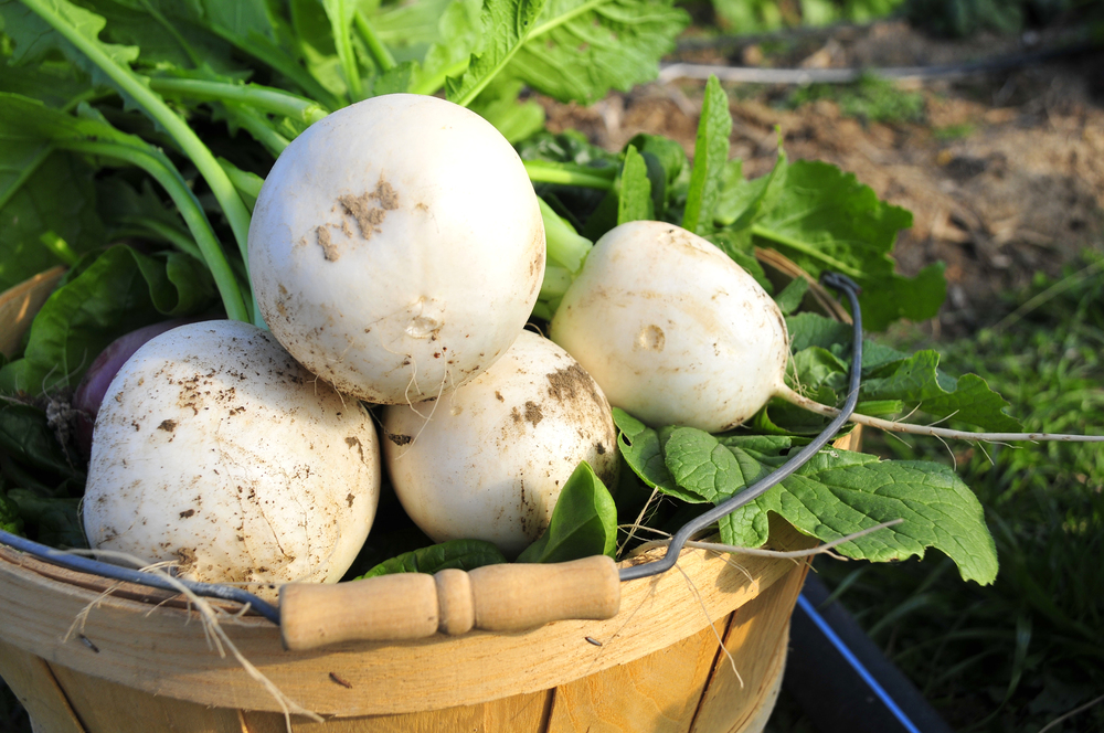 "Freshly harvested sweet turnips lay gathered on Three Springs Farm in Oaks Oklahoma. ""The sweet turnips are one of our most popular sellers, you can't buy them in a grocery store anywhere"" said farmer Emily Oakley. Nick Oxford for The New York Times"